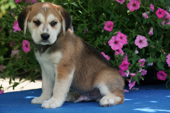 Huskalier Puppy For Sale Holmesville OH Male Max