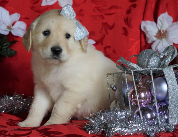 AKC Registered Golden Retriever For Sale Sugarcreek, OH Female- Sophie