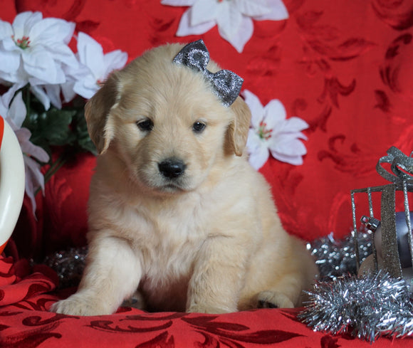 AKC Registered Golden Retriever For Sale Sugarcreek, OH Female- Amber