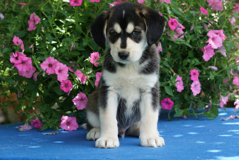 Huskalier Puppy For Sale Holmesville OH Male Marley
