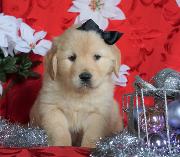 AKC Registered Golden Retriever For Sale Sugarcreek, OH Male- Sailor