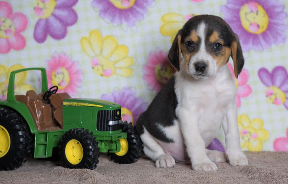 Beagle Puppy For Sale Fredericksburg, OH Male- Hunter