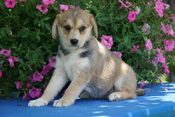 Huskalier Puppy For Sale Holmesville, OH Female Gabby