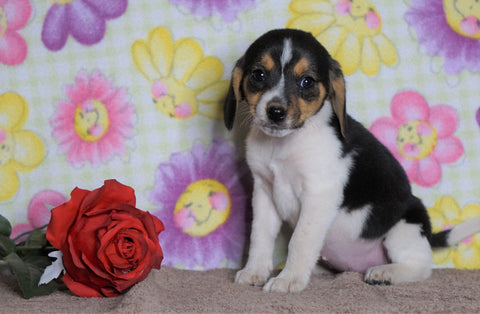 Beagle Puppy For Sale Fredericksburg, OH Female- Misty