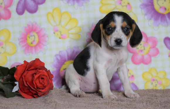 Beagle Puppy For Sale Fredericksburg, OH Female- Lucy