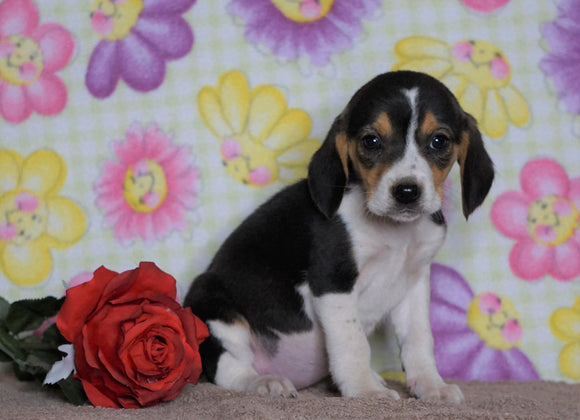 Beagle Puppy For Sale Fredericksburg, OH Female- Pebbles