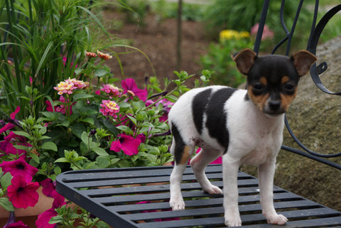 Toy Fox Terrier/ Jack Russel For Sale Apple Creek OH Female Oreo