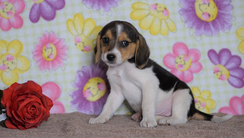 Beagle Puppy For Sale Fredericksburg, OH Female- Hershey