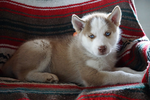 AKC Registered Siberian Husky For Sale Fredericksburg OH Male Buddy