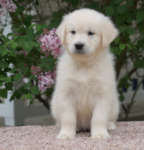 AKC Registered English Cream Golden Retriever For Sale Fredericksburg, OH Female- Summer