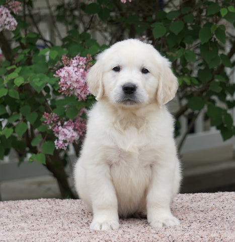 AKC Registered English Cream Golden Retriever For Sale Fredericksburg, OH Male- Oliver