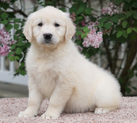 AKC Registered English Cream Golden Retriever For Sale Fredericksburg, OH Female- Buttercup
