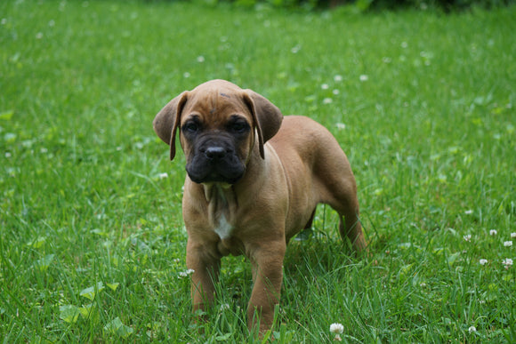 Presa Canario Puppy For Sale Fresno OH Male Bailey