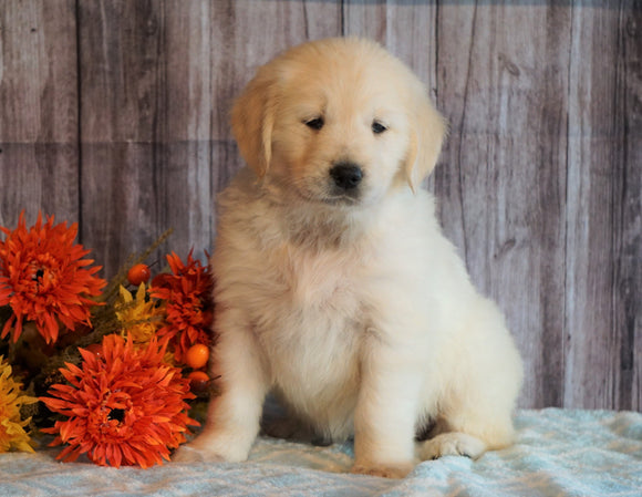 AKC Registered English Cream Golden Retriever For Sale Fredericksburg, OH Female- Mayflower