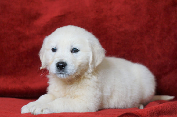 AKC Registered English Cream Golden Retriever For Sale Fredericksburg, OH Male- Liam