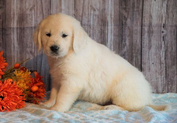 AKC Registered English Cream Golden Retriever For Sale Fredericksburg, OH Male- Butternut