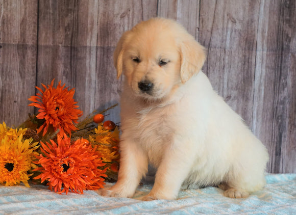 AKC Registered English Cream Golden Retriever For Sale Fredericksburg, OH Female- Nutmeg