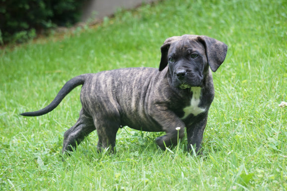 Presa Canario Puppy For Sale Fresno OH Male Buster