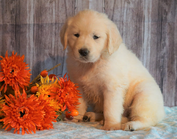 AKC Registered English Cream Golden retriever For Sale Fredericksburg, OH Female- Pumpkin
