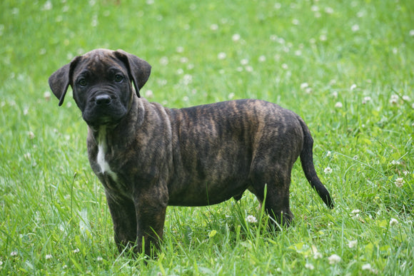 Presa Canario Puppy For Sale Fresno OH Male Jasper
