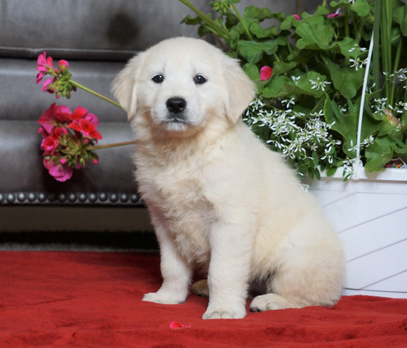 AKC Registered English Cream Golden Retriever For Sale Fredericksburg, OH Female- Mia