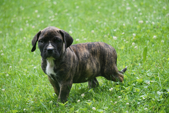 Presa Canario Puppy For Sale Fresno OH Male Zues