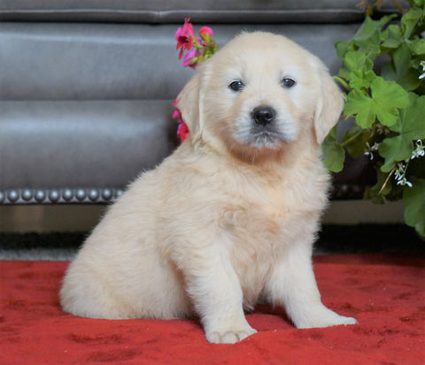 AKC Registered English Cream Golden Retriever For Sale Fredericksburg, OH Female- Emma