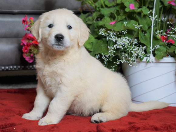 AKC Registered English Cream Golden Retriever For Sale Fredericksburg, OH Male- Mason