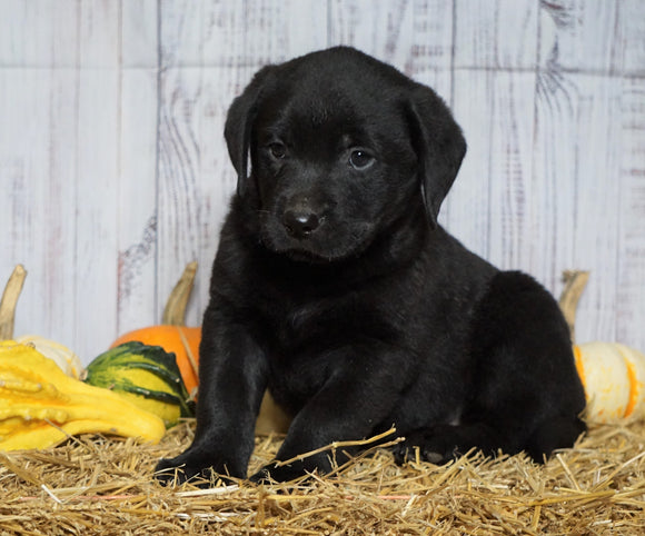 Rottweiler Mix Puppy For Sale Fredericksburg, OH Male- Buddy