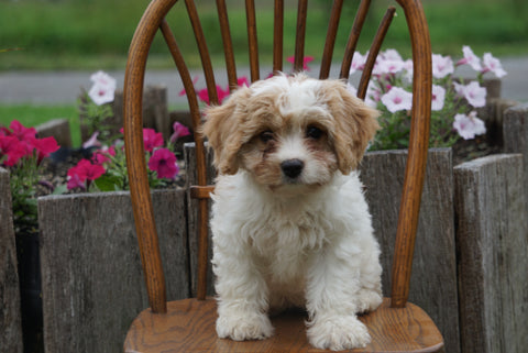 Cavachon Puppy For Sale Millersburg OH Female Lucy