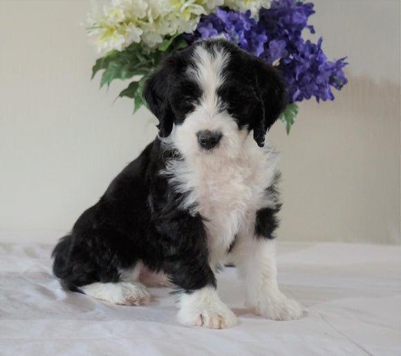 Bernedoodle (Standard) For Sale Sugarcreek, OH Female- Holly
