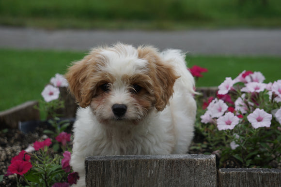Cavachon Puppy For Sale Millersburg OH Male Landon