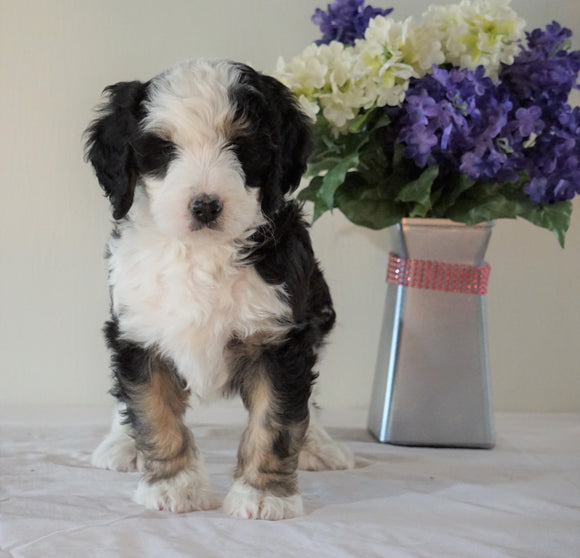 Bernedoodle (Standard) For Sale Sugarcreek, OH Male- Chase