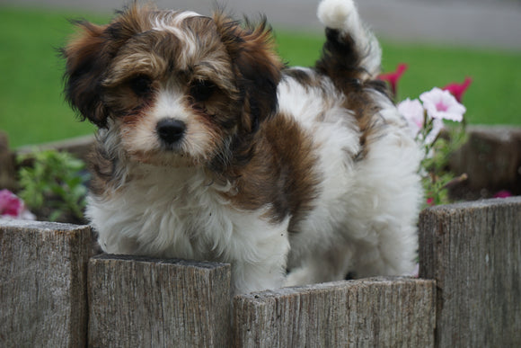 Cavachon Puppy For Sale Millersburg OH Male Arnie