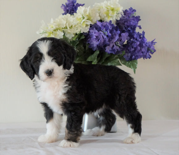 Bernedoodle (Standard) For Sale Sugarcreek, OH Female- Twinkle