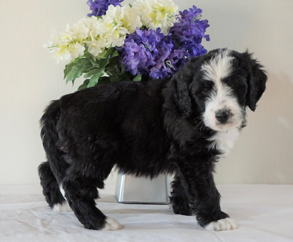 Bernedoodle (Standard) For Sale Sugarcreek, OH Male- Rambo