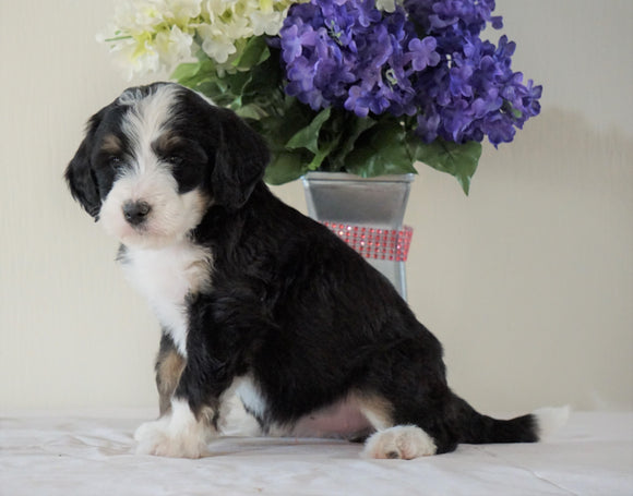 Bernedoodle (Standard) For Sale Sugarcreek, OH Female- Chloe