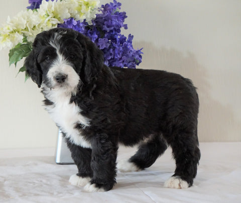 Bernedoodle (Standard) For Sale Sugarcreek, OH Male- Chief
