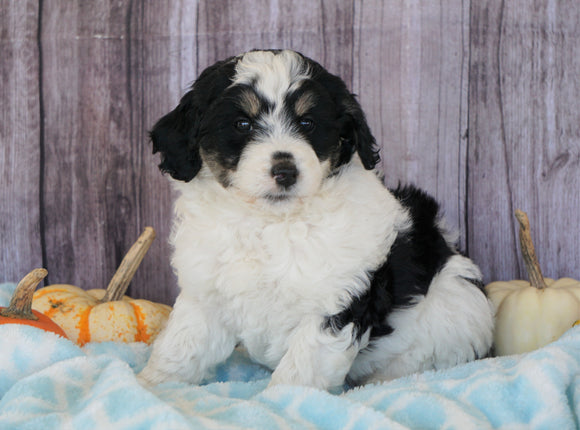 Mini Aussiedoodle Mix For Sale Fredericksburg, OH Male- Sawyer