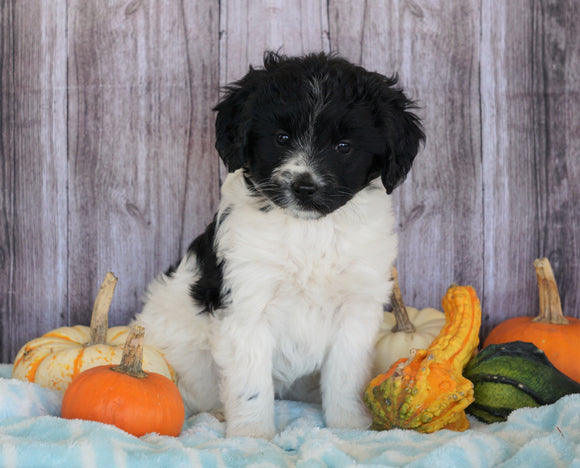 Mini Aussiedoodle Mix For Sale Fredericksburg, OH Female- Sophia