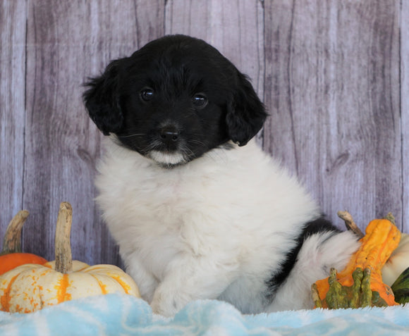 Mini Aussiedoodle For Sale Fredericksburg, OH Male- Sage