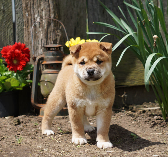 CKC Registered Shiba Inu For Sale Millersburg, OH Male- Tom