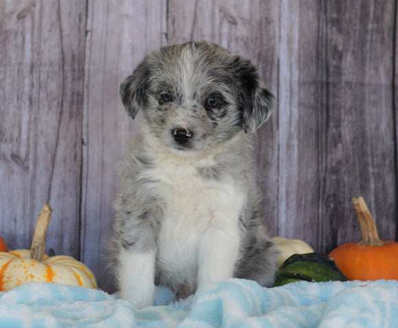 Mini Aussiedoodle Mix For Sale Fredericksburg, OH Male- Sammy