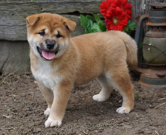 CKC Registered Shiba Inu For Sale Millersburg, OH Male- Mark