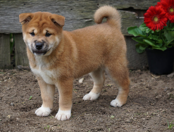 CKC Registered Shiba Inu For Sale Millersburg, OH Female- Lizzy