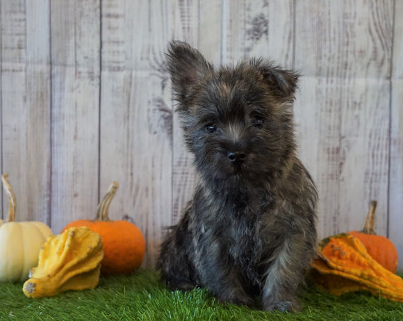 Cairn Terrier For Sale Millersburg, OH Male- Teddy