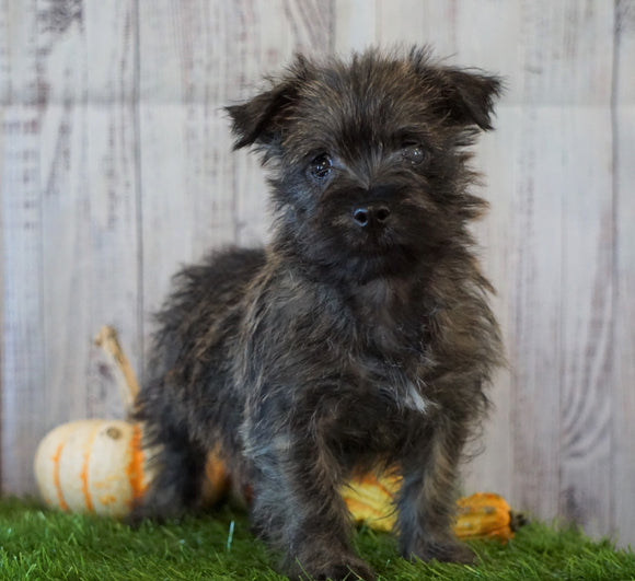 Cairn Terrier For Sale Millersburg, OH Female- Sally