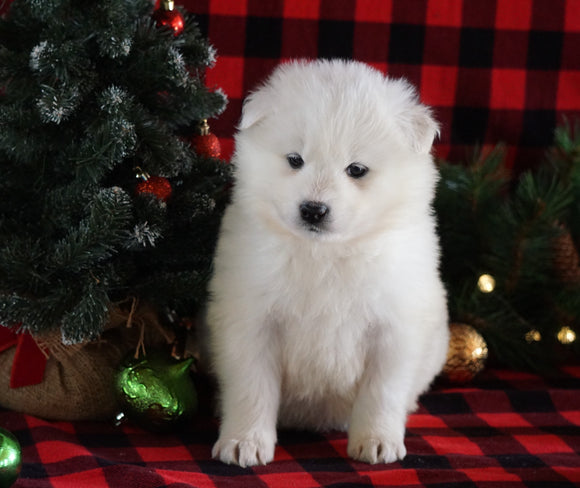 Samoyed Puppy For Sale Fredericksburg, OH Female- Timber
