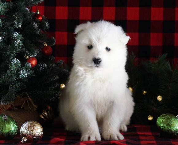 Samoyed Puppy For Sale Fredericksburg, OH Female- Snowy