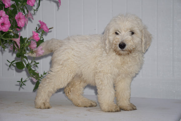 F2 Goldendoodle For Sale Fredericksburg OH Male Kirby